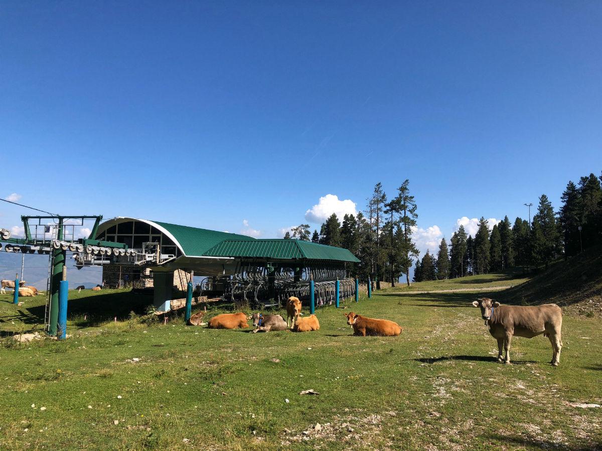 Vacas pastando en la estación de la Masella